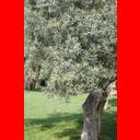 Show Olives Image