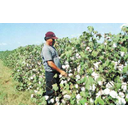 Show Cotton field Image