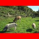 Show Extensive cattle farming Image