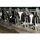 Show Intensive cattle farming Image
