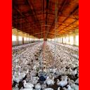 Show Poultry farming Image