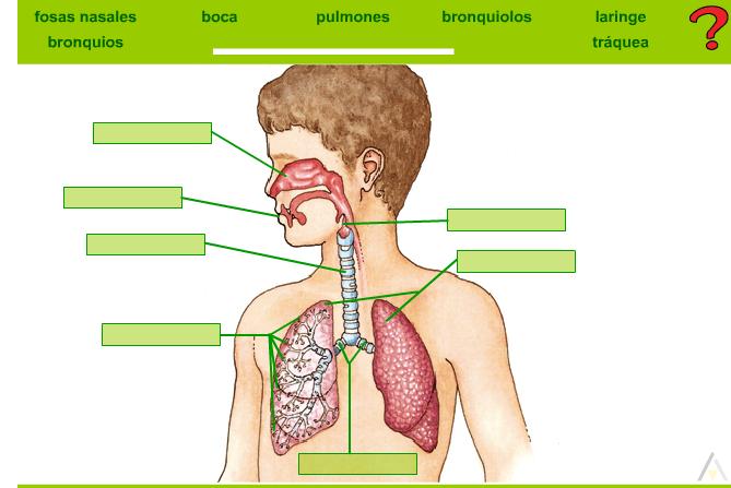 Aparato respiratorio con nombres para imprimir - Imagui
