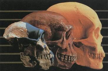 cráneos de homínidos