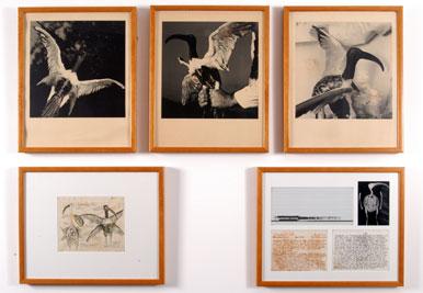 JOAN FONTCUBERTA - PERE FORMIGUERA. Threschelonia atis, 1989. Serie Fauna 40 x 50 cm. c/u. Fotografía, radiografía, sonograma, dibujo, escritura