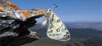 Sierra Nevada utiliza las mariposas como indicadores de los efectos del cambio climático en las espe...</p>
