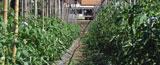 Cultivo ecológico con dispositivos de riego por goteo