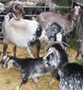 Entre las ayudas, destacan aquellas destinadas a la instalación de infraestructuras y equipamientos para la potenciación de las razas autóctonas de ganado.