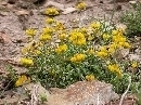 Hippocrepis prostrata (planta)