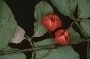 Euonymus latifolius