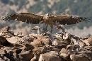 Con las alas abiertas. II Encuentro Fotográfico de Grandes Rapaces de la Sierra de Castril