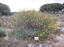Jardín Botánico 'Dunas del Odiel': Adenocarpus gibbsiaunus