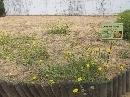 Jardín Botánico 'Dunas del Odiel': Picris wilkommii