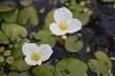 Jardín Botánico 'Dunas del Odiel': Hydrocharis morsus ranae