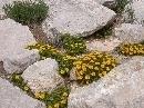Jardín Botánico 'Dunas del Odiel': Asteriscus maritimus