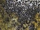 Dendropoma petraeum