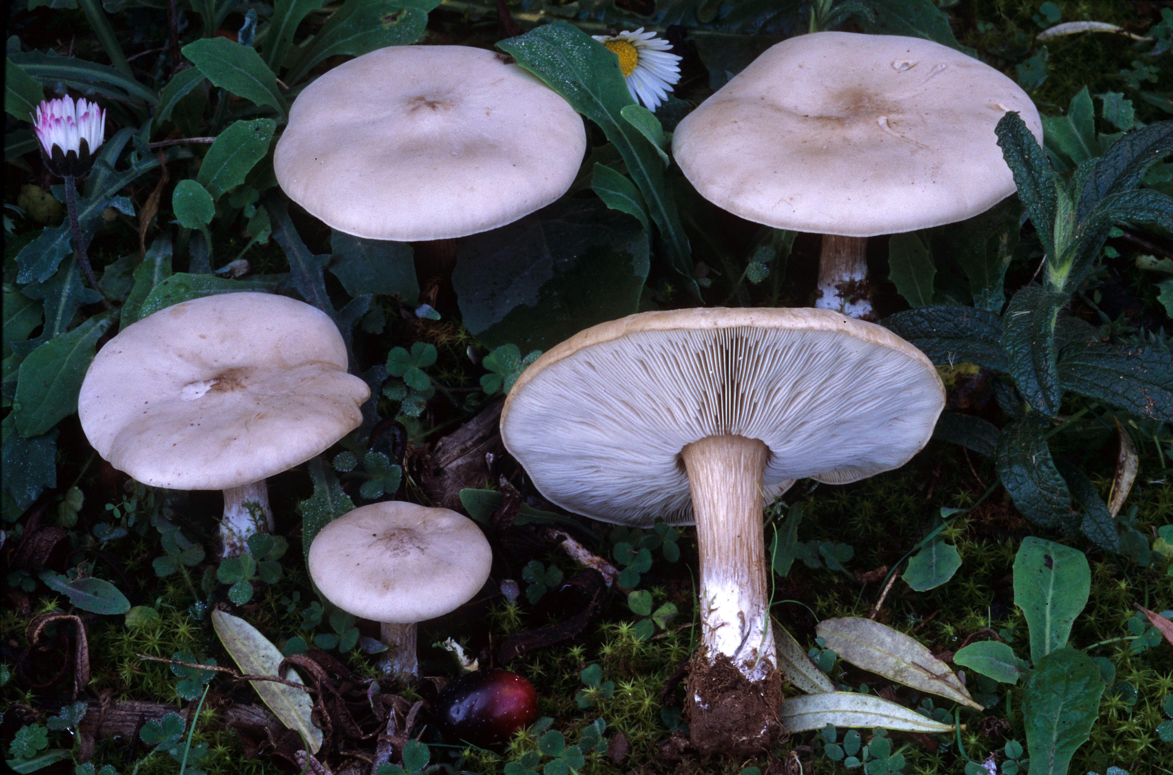 Seta de ca adilla melanoleuca grammopodia canal multimedia consejer a de medio ambiente Setas de jardin