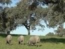 Life Biodehesa: Manejo de pastos y el pastoreo en las dehesas