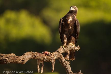 Águila imperial posada en un tronco