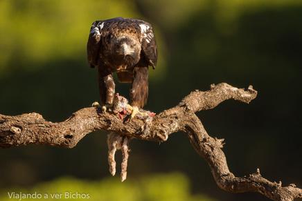 Águila imperial iniciando el vuelo