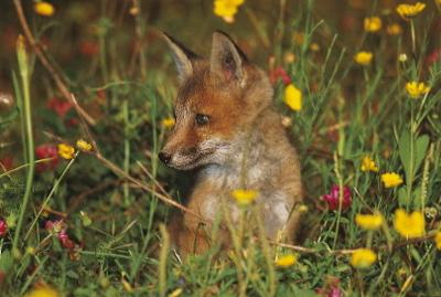 Imagen de ejemplar de zorro joven