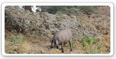 Ganado porcino en la dehesa