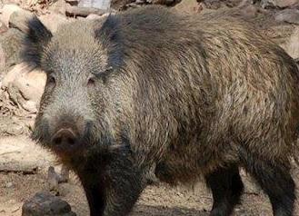 Publicado en BOJA la Resolución de emergencia por riesgos sanitarios y daños producidos por los cerdos asilvestrados y jabalies para la temporada de caza 2020-2021