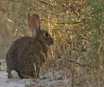 La Consejería de Agricultura, Ganadería, Pesca y Desarrollo Sostenible aprueba medidas cinegéticas excepcionales para evitar los daños causados por el conejo en la agricultura