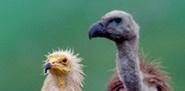 Actualización Seguimiento y resultados del Plan de recuperación y conservación de aves necrófagas