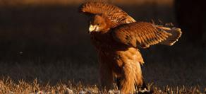 Medio Ambiente libera en la provincia de Cádiz cuatro pollos de águila imperial que habían sido rescatados durante 2013