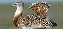 La Junta invierte 957.000 euros este año en mejorar el hábitat de las aves esteparias en el Alto Guadiato