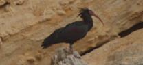 Medio Ambiente confirma la existencia de una segunda colonia reproductora de ibis eremita en la provincia de Cádiz