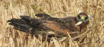 El seguimiento y conservación del aguilucho cenizo en Huelva se salda en 2014 con el vuelo de 108 pollos