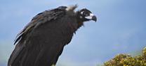 Medio Ambiente publica una unidad didáctica sobre aves necrófagas en el marco del proyecto europeo Transhábitat