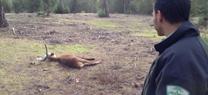 Agentes de Medio Ambiente y vecinos de Sanlúcar rescatan a un ciervo atrapado en los invernaderos