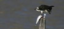 La invernada de aves acuáticas en los humedales onubenses alcanza los 63.387 individuos