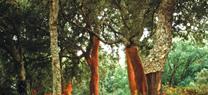 Medio Ambiente inicia los trabajos para establecer los rodales selectos de alcornoques en Andalucía
