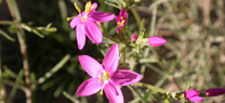 El Jardín Botánico de Los Vélez muestra en agosto la 'Centaurium quadrifolium', una planta amenazada y en peligro