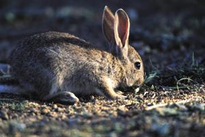 Medio Ambiente adopta medidas cinegéticas excepcionales para evitar los daños causados por el conejo en la agricultura