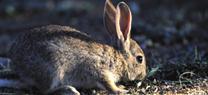 Medio Ambiente mantiene medidas cinegéticas excepcionales para controlar los daños en la agricultura por la alta densidad de conejos