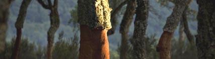 Medio Ambiente desarrolla la saca del corcho en un total de 13 montes de 11 municipios andaluces