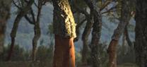 El Plan de Calas supera los 70 muestreos de corcho en cinco provincias andaluzas durante la presente campaña