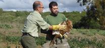 Medio Ambiente libera en la Janda un águila imperial rescatada en Jerez y recuperada en el centro de especies amenazadas