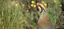 Medio Ambiente entrega los primeros certificados de calidad genética para la cría en cautividad de la perdiz roja