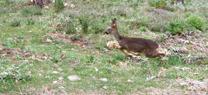 Medio Ambiente libera cinco corzos en las sierras de Húetor y Tejeda para reforzar las poblaciones de la especie