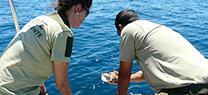 Medio Ambiente devuelve al mar 11 ejemplares de Charonia lampas recuperadas tras su decomiso en un mercado de Huelva