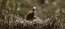 La población reproductora del águila imperial ibérica supera por primera vez en Andalucía las 100 parejas nidificantes