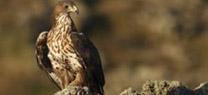 Dos ejemplares de águila perdicera cedidos por la Junta en el marco del LIFE Bonelli se establecen como pareja en Mallorca