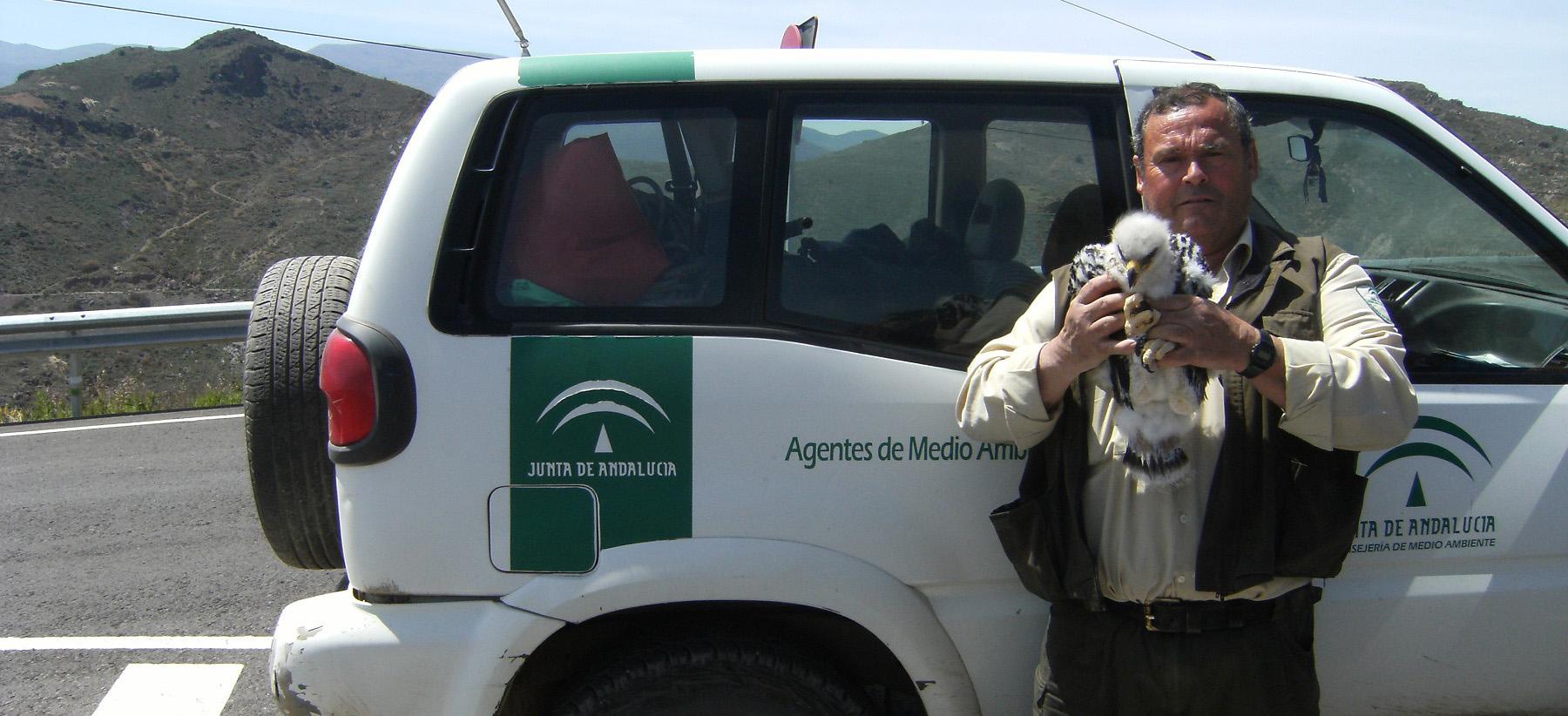 La Junta cede tres crías de águila perdicera al proyecto 'Life Bonelli' para la recuperación de esta especie amenazada