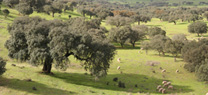 Sierra de Aracena y Picos de Aroche difunde los valores naturales y culturales de la dehesa con 'Del cerdo hasta los andares'