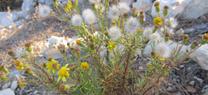 Medio Ambiente destaca el Azuzón como planta del mes en el Jardín Botánico Umbría de la Virgen, de Los Vélez